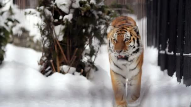 Portrét Amur tygr obcházel klec