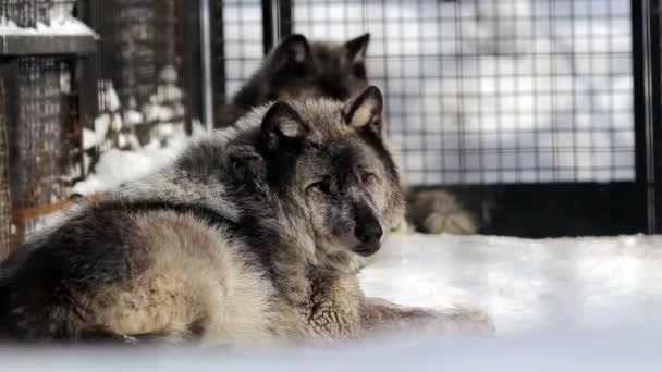 Portrét černé kanadských vlků v zoo