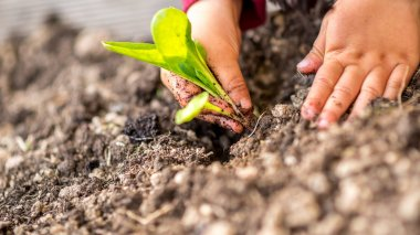 Hands planting a young green shoot