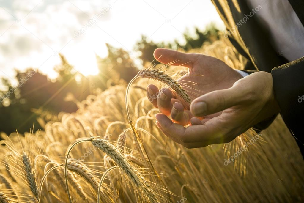 Closeup of hands of businessman cupping a ripe ear of wheat