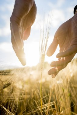 Agronomist or farmer cupping his hands around an ear of wheat in