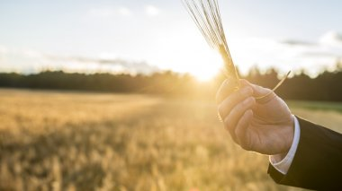 Closeup of male hand holding a wheat ear over a background of bl