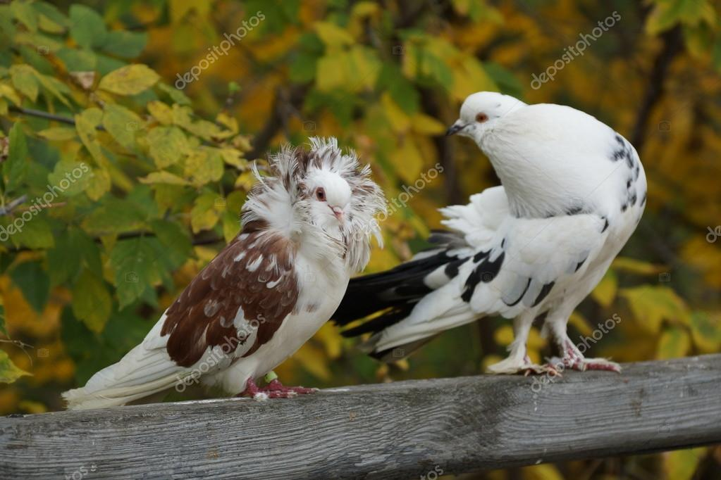 Pigeon couple