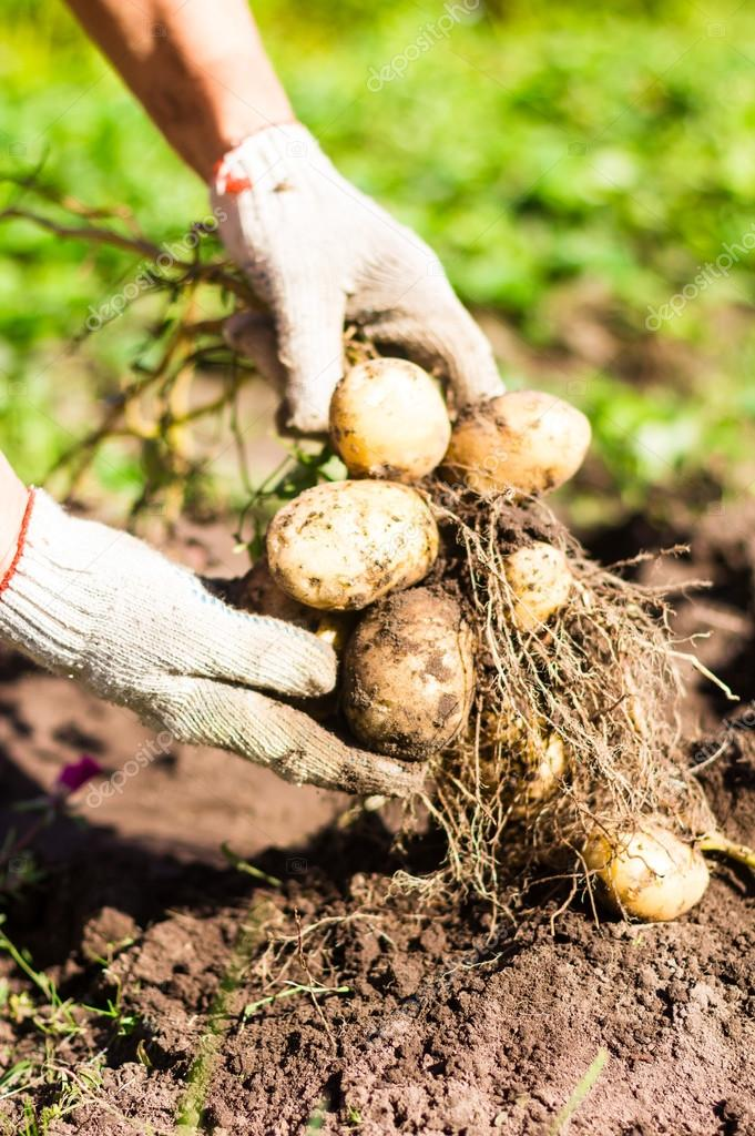 Potato root with new yellow potatoes in hands in protective gloves, selective focus