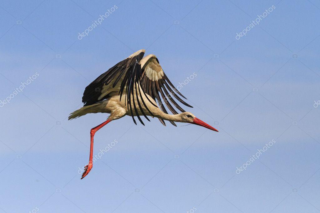 cegonha voando no céu com belas asas abertas stock photo