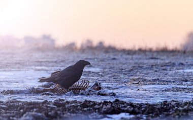 raven sitting on prey and  sunny hotspot