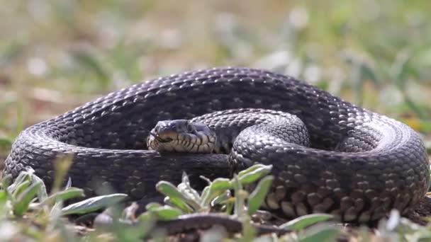had v trávě ukazující jazyk