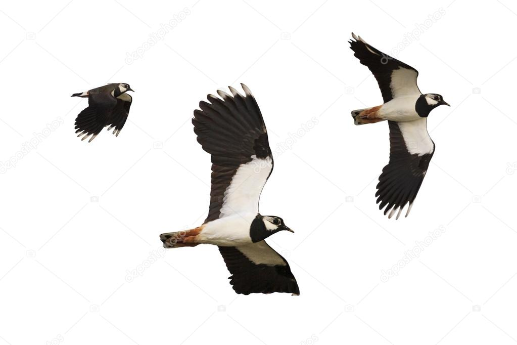 schwarz wei vogel fliegen isoliert auf wei em hintergrund stockfoto drakuliren 107471484. Black Bedroom Furniture Sets. Home Design Ideas