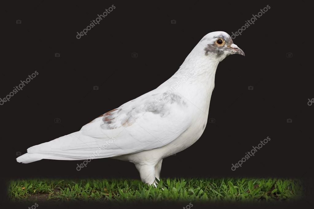 White Pigeon among green grass isolated on black — Stock