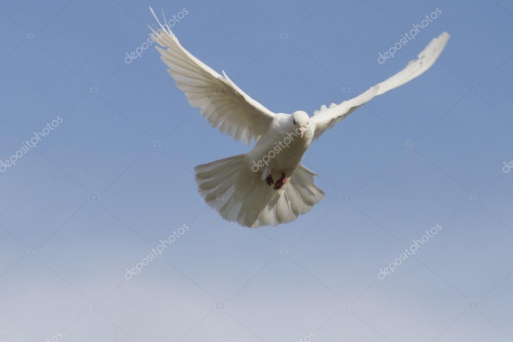 Bird Symbol Of Peace Stock Photo Drakuliren 108679330