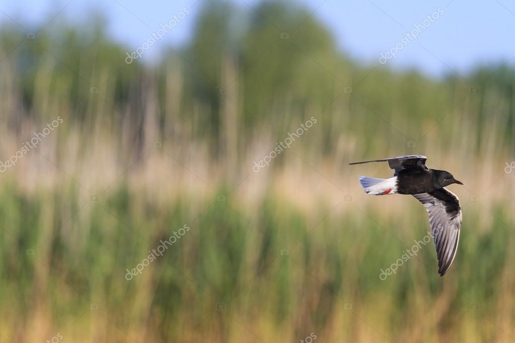 Black tern flying over the marsh