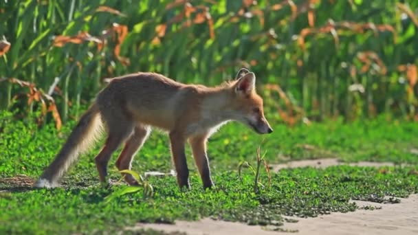 young fox sniffs the wind