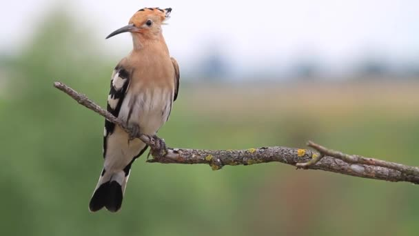young hoopoe sitting on a dry branch