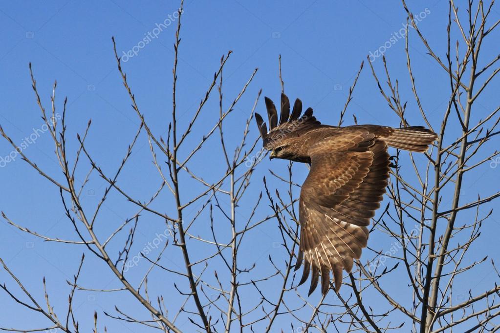 Ptaków Drapieżnych W Locie Zdjęcie Stockowe Drakuliren 117544540