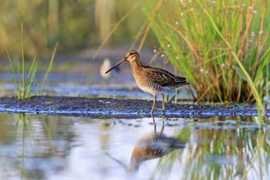 snipe at the edge of the swamp