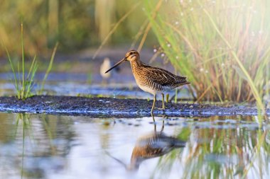 snipe at the edge of the swamp with sunny hotspot