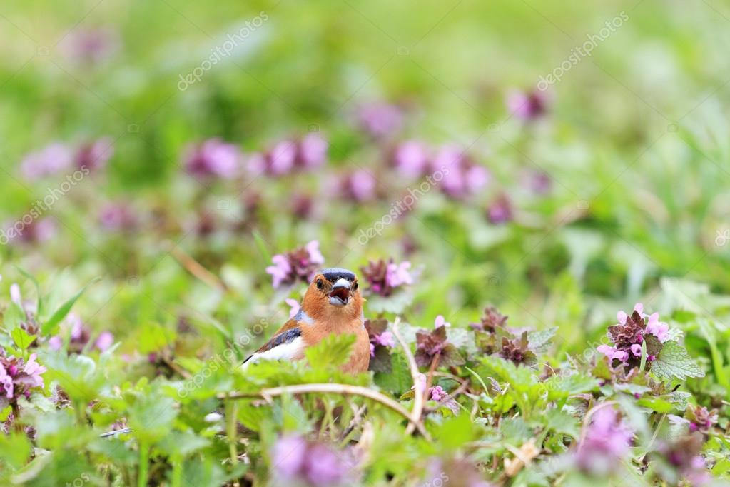 Chaffinch singing the song of pink flowers stock photo chaffinch singing the song of pink flowers stock photo mightylinksfo