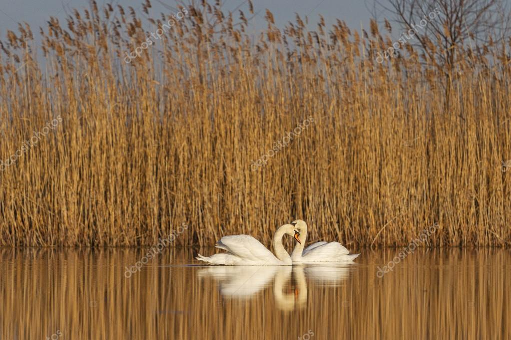 pair of swans at sunrise . of love