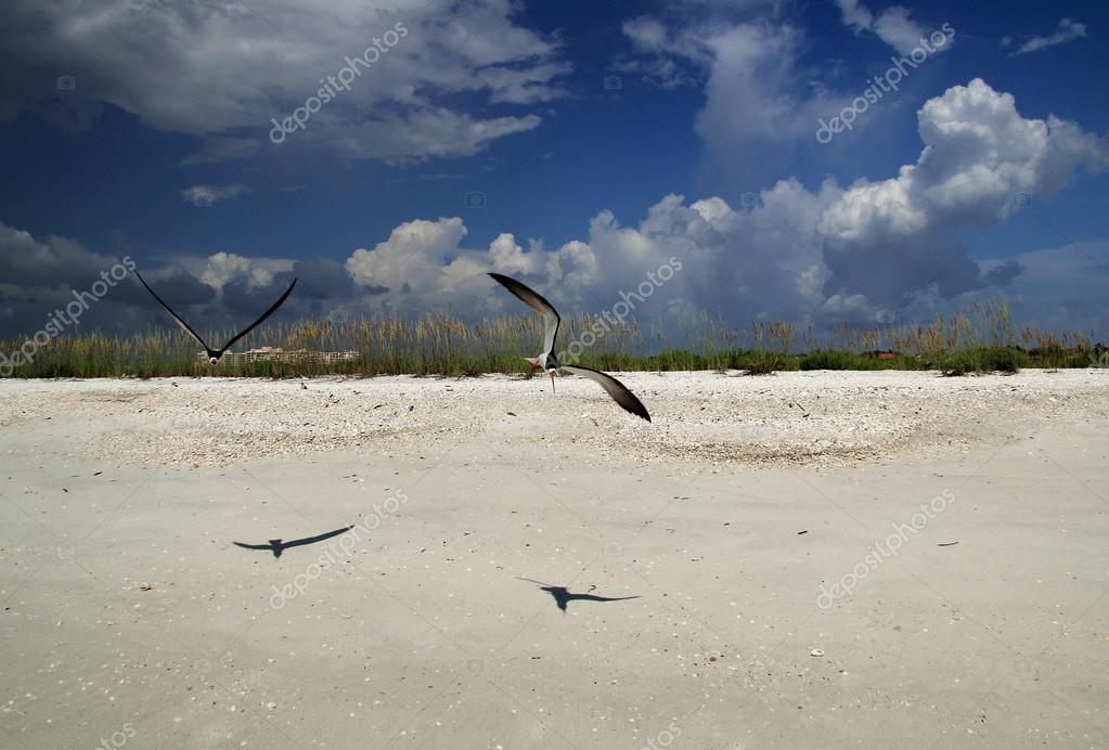Black Skimmers on Tigertail Beach