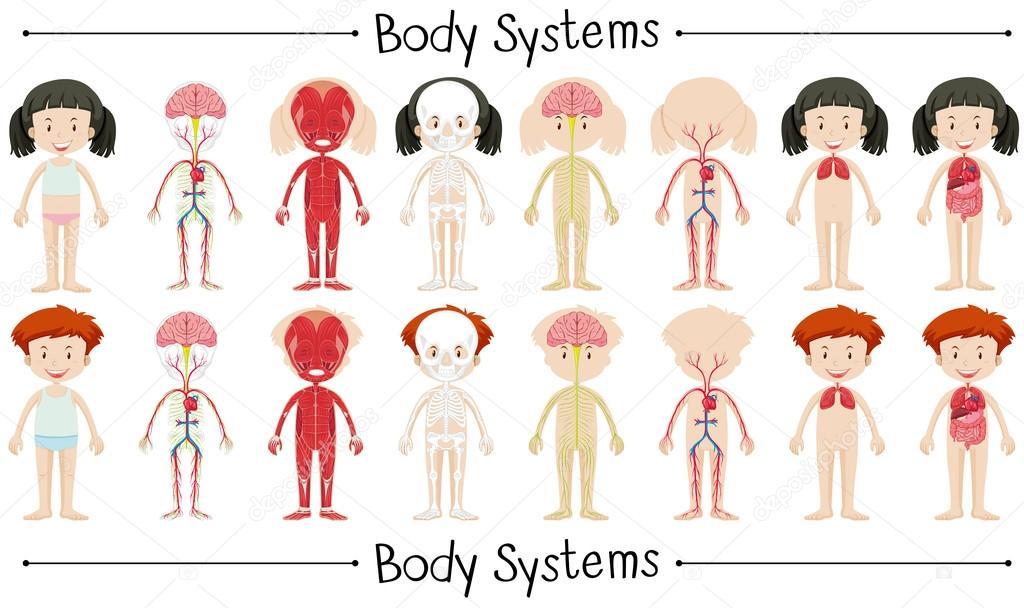 Körper-System von Boy und girl — Stockvektor © blueringmedia #101620120