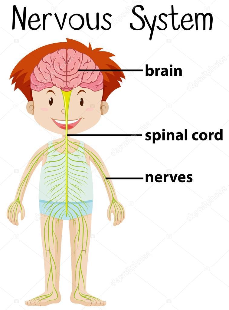 Nervensystem im menschlichen Körper — Stockvektor © blueringmedia ...