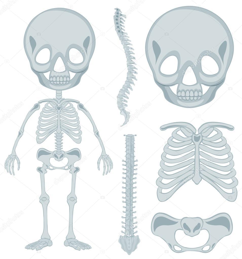 Esqueleto humano para niños pequeños — Vector de stock ...