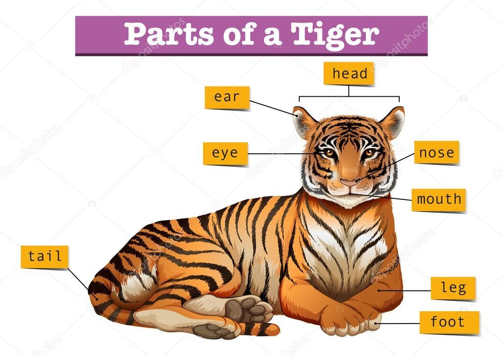 Diagram Showing Parts Of Tiger Stock Vector Blueringmedia 118001004