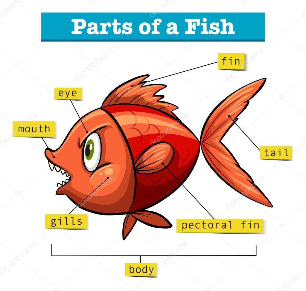 Diagrama que muestra las partes de pescado — Archivo Imágenes ...