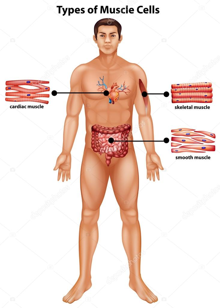 Diagram showing types of muscle cells stock vector blueringmedia diagram showing types of muscle cells illustration vector by blueringmedia ccuart Image collections