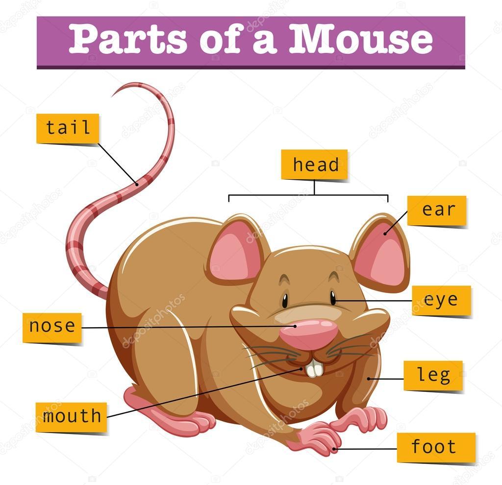 Diagrama que muestra las partes del mouse — Vector de stock ...