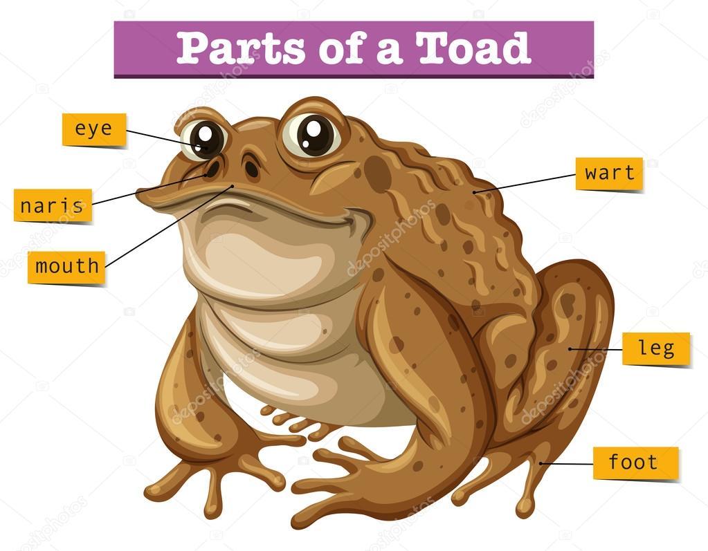 diagram showing parts of toad — stock vector © blueringmedia #118628210  #15