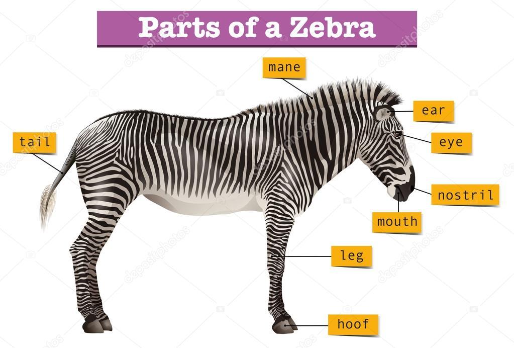 Diagrama que muestra diferentes partes de cebra — Archivo Imágenes ...