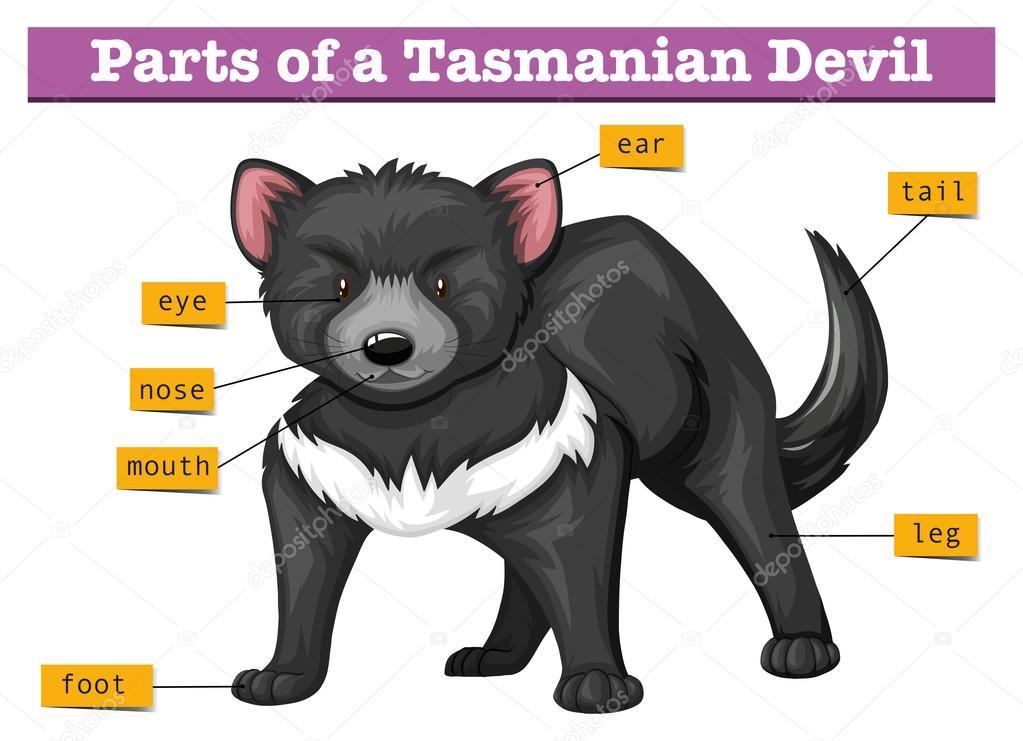 Diagrama que muestra las partes del diablo de Tasmania — Archivo ...