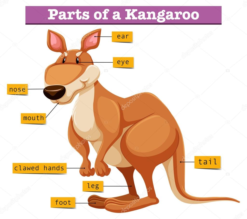 Diagram showing different parts of kangaroo stock vector diagram showing different parts of kangaroo illustration vector by blueringmedia ccuart Gallery