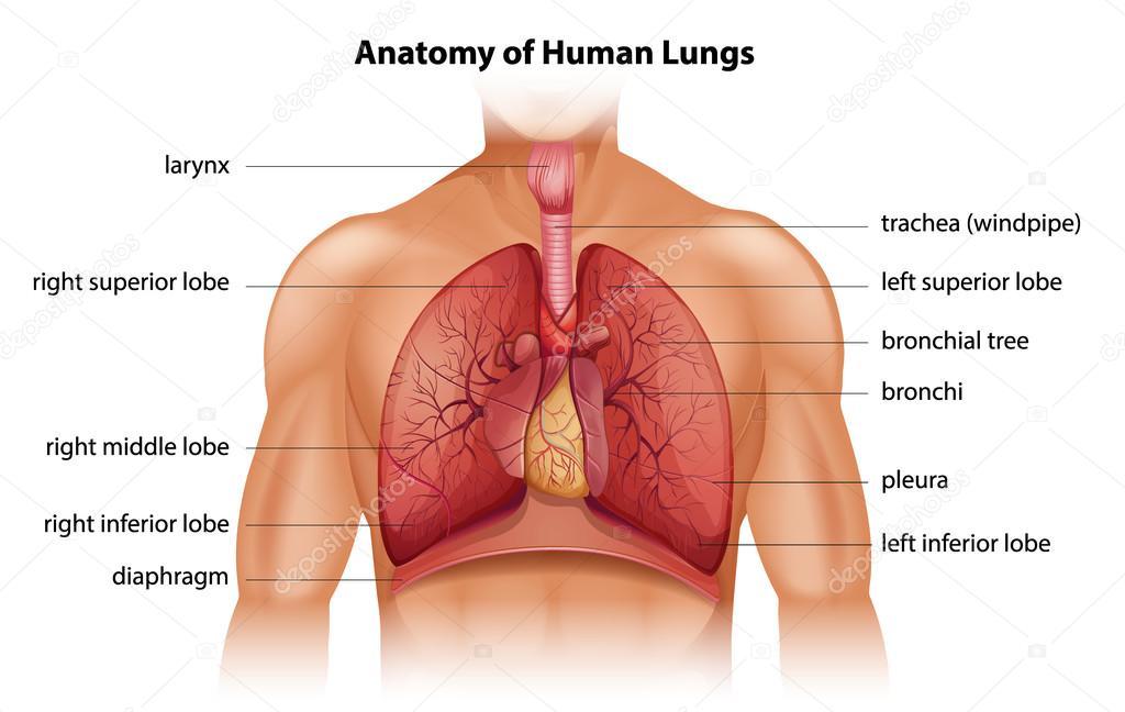 Anatomie der menschlichen Lunge — Stockvektor © blueringmedia #57426659