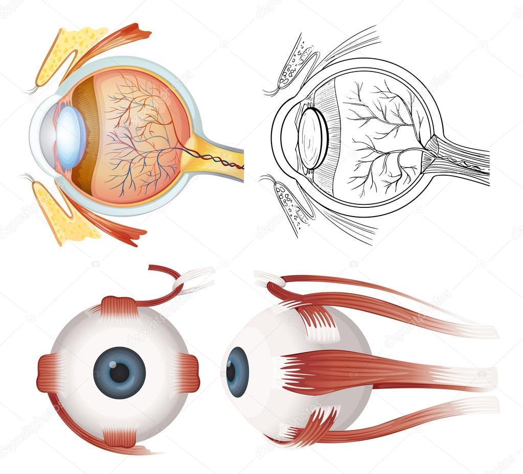 Anatomía del ojo — Vector de stock © blueringmedia #58754521