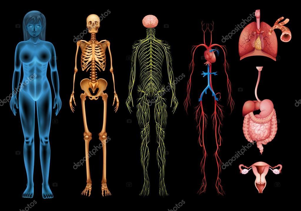 sistemas del cuerpo humano — Archivo Imágenes Vectoriales ...