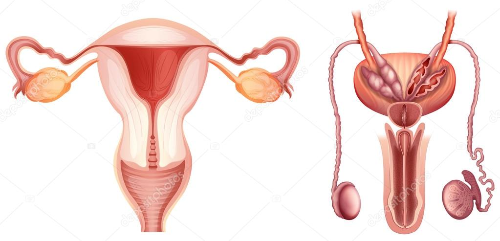 The Male And Female Reproductive Systems Stock Vector