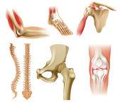 Různé lidské kosti