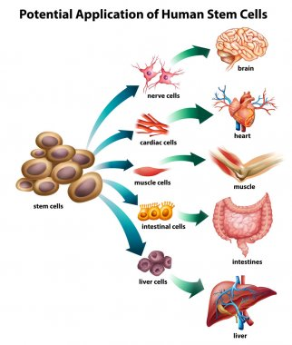 Explanation of stem cell application stock vector