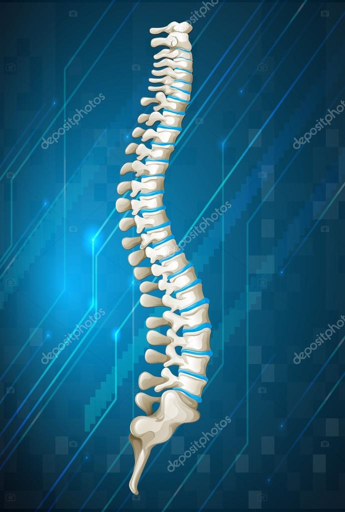 Diagrama de espina dorsal humana en azul — Vector de stock ...