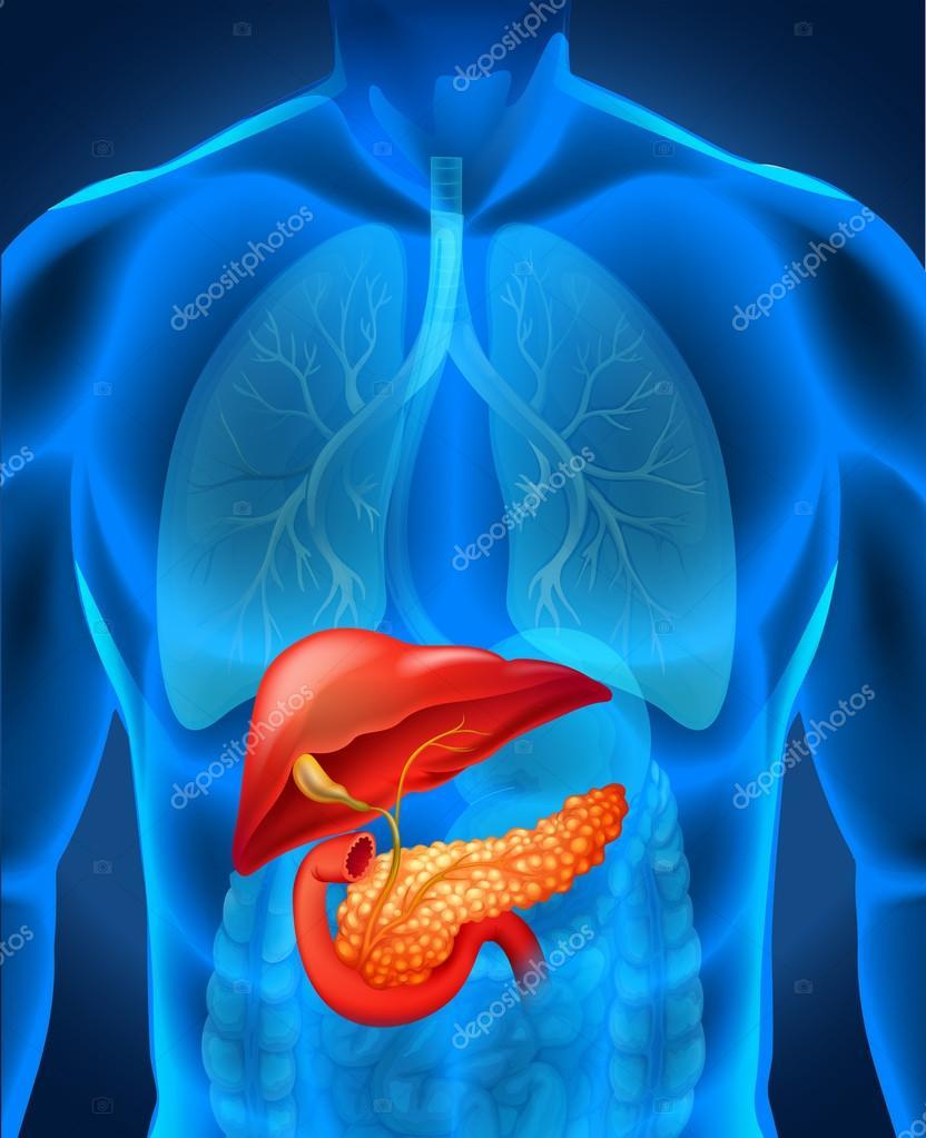Cáncer de páncreas en el cuerpo humano — Vector de stock ...