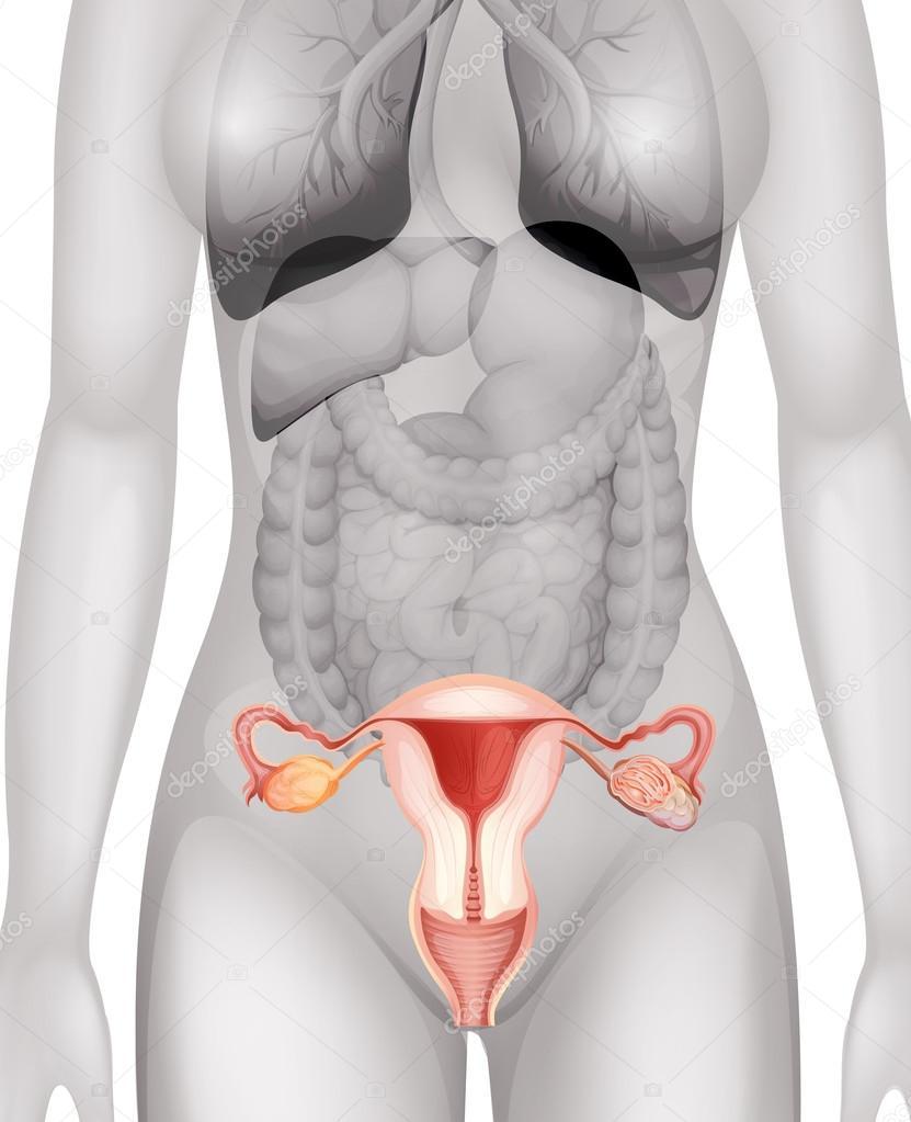 Weiblichen Genitalien im menschlichen Körper — Stockvektor ...