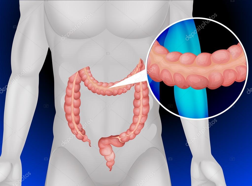 Intestino grueso en el cuerpo humano — Vector de stock ...