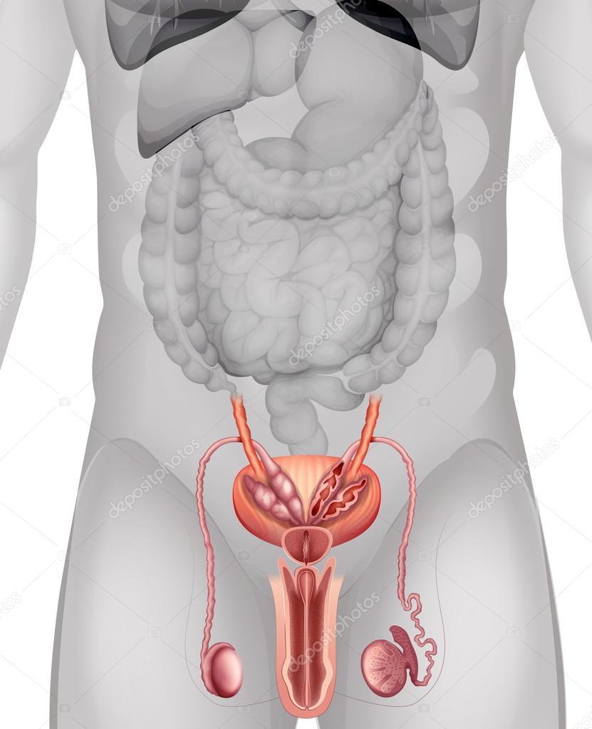 Diagrama de los genitales masculinos en detalle — Vector de stock ...