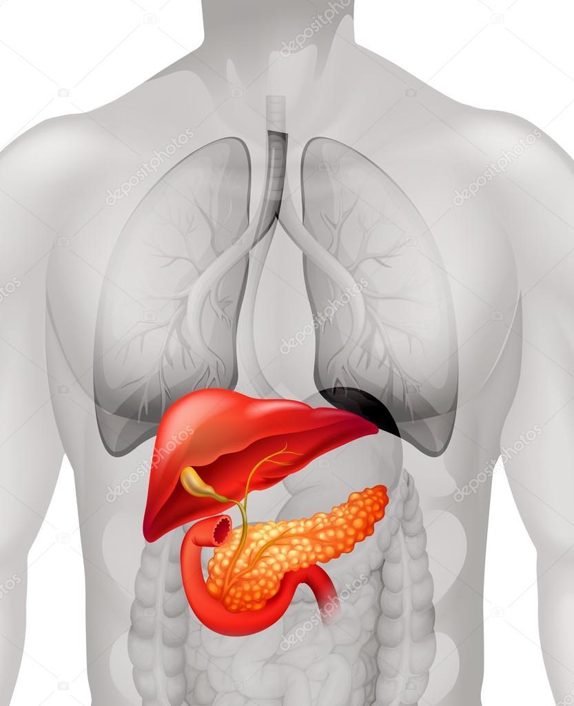 Pankreas-Krebs in der Human- — Stockvektor © blueringmedia #83087464