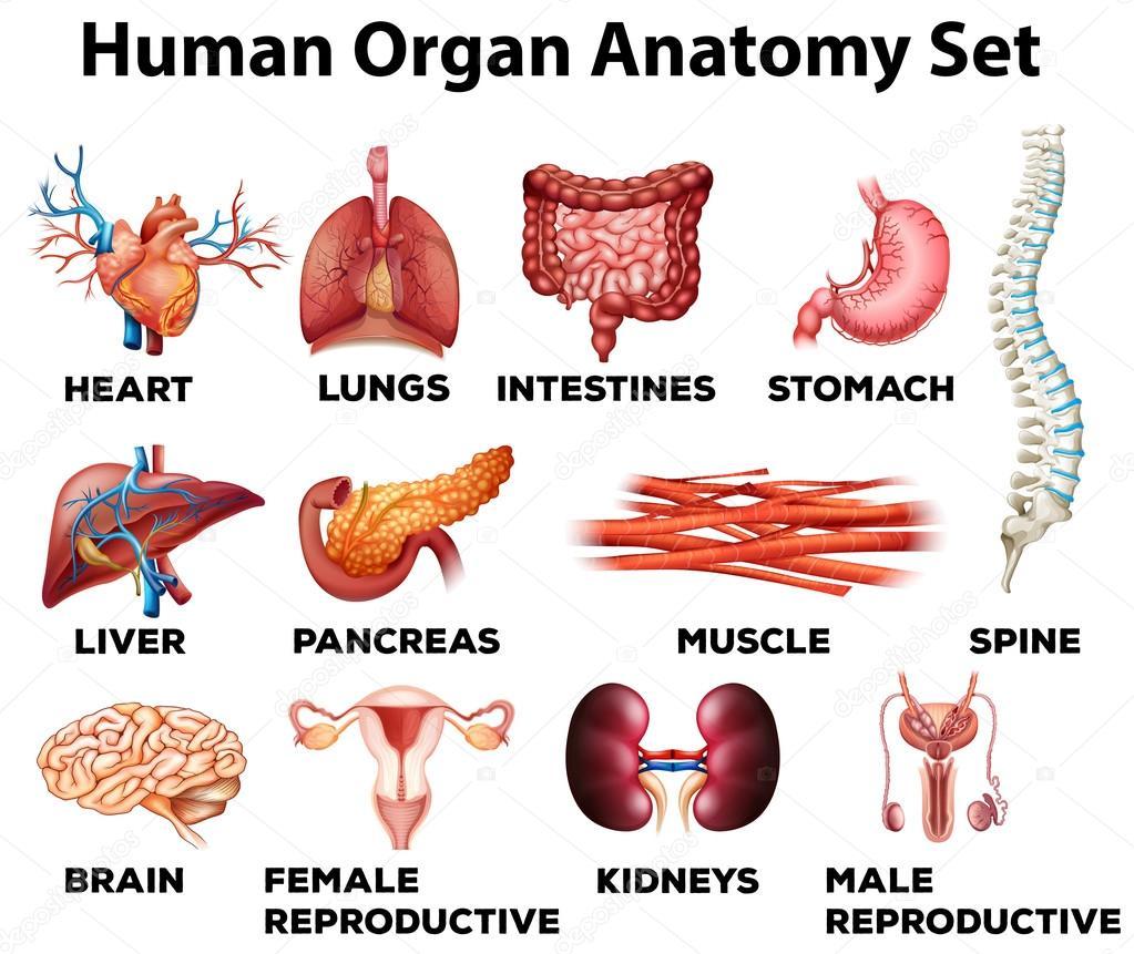 Organ Des Menschen Anatomie Satz Stockvektor Blueringmedia 83404604