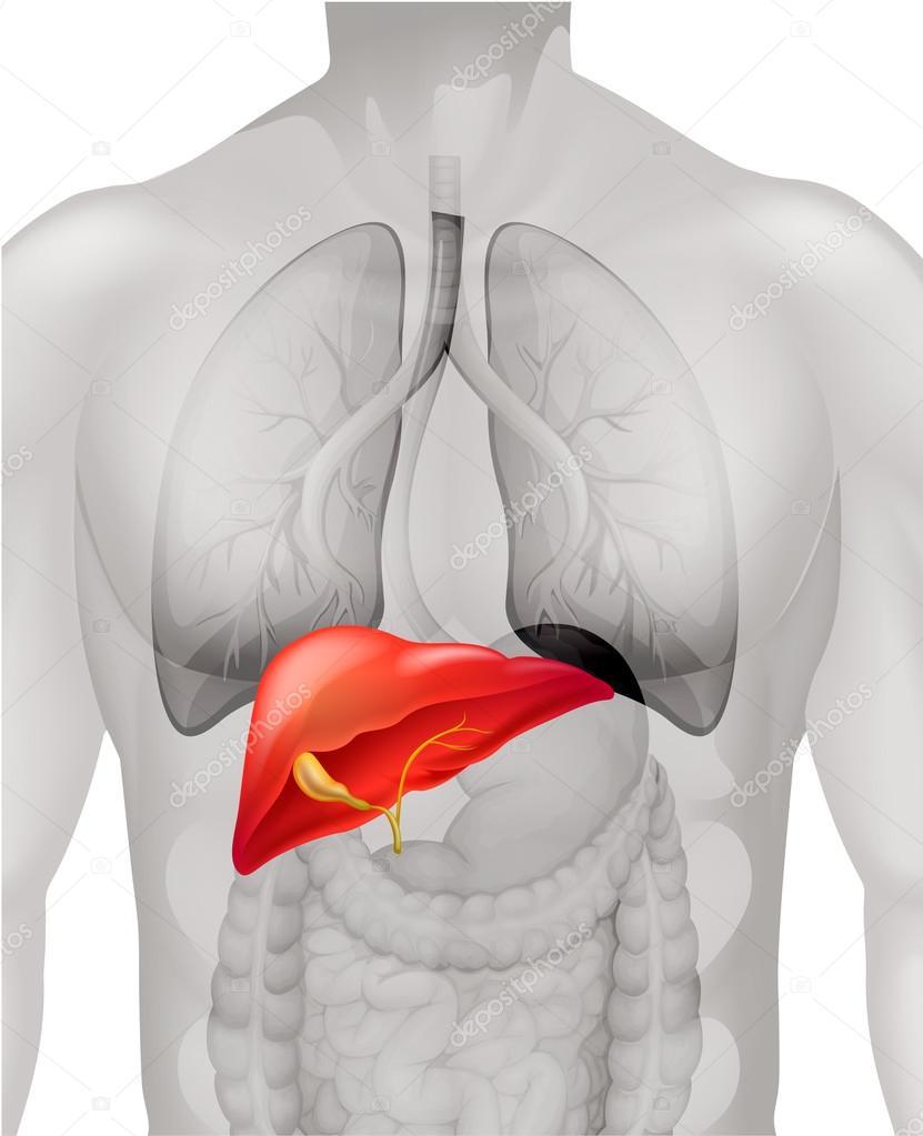 Hígado humano en cuerpo — Vector de stock © blueringmedia #83746388