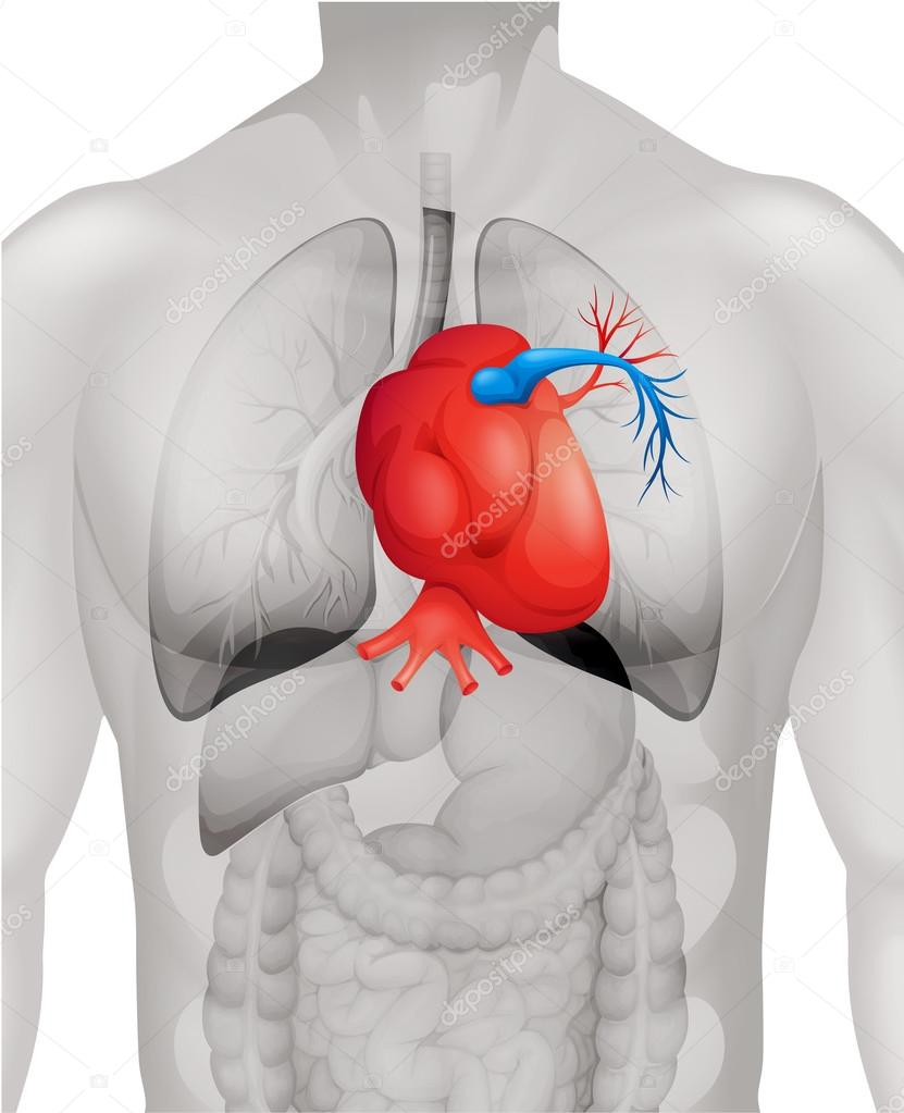 an anatomical overview of the human heart in biology Anatomical studies can include investigation at the molecular, cellular, tissue and organ level also, anatomy seeks to link and define structure and function.