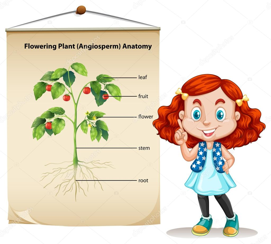 Poco chica y planta de anatomía — Vector de stock © blueringmedia ...
